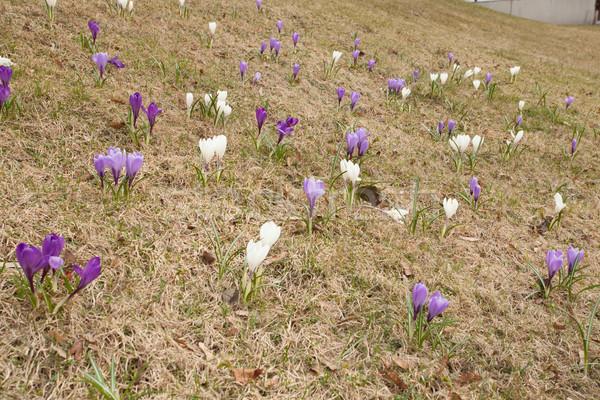 Crocus fiori erba selvatico primavera panorama Foto d'archivio © Juhku