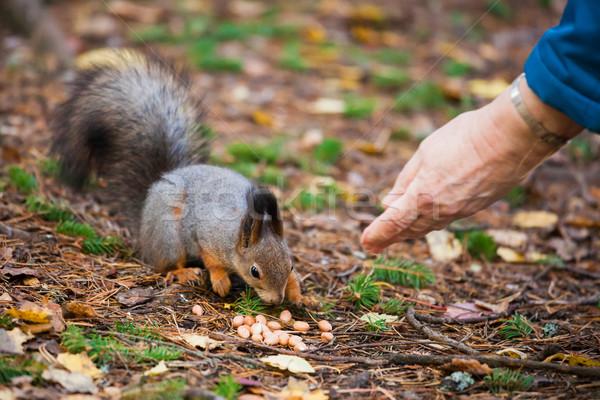 Piros mókus eszik diók öregasszony kéz Stock fotó © Juhku