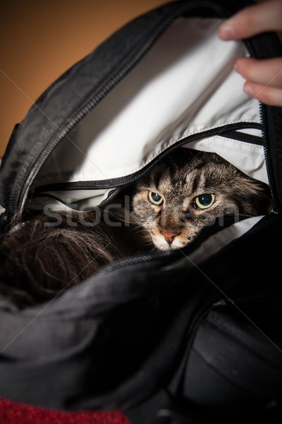 Stock photo: Angry cat in backbag