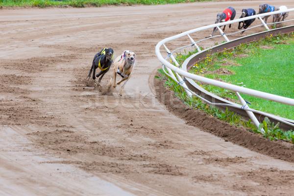 Galgo cães corrida areia seguir cão Foto stock © Juhku