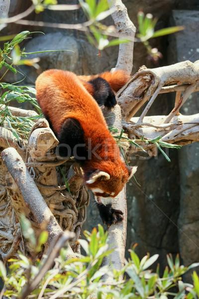 赤 パンダ 登山 ツリー 動物園 自然 ストックフォト © Juhku