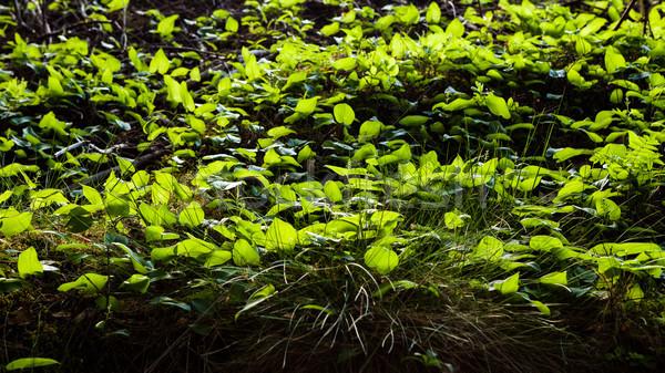 Wald Stock Vegetation beleuchtet Natur Blatt Stock foto © Juhku