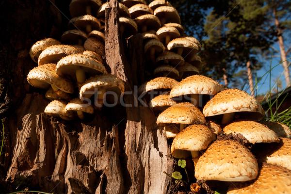 Grzyb drzewo grupy wiele lasu spadek Zdjęcia stock © Juhku