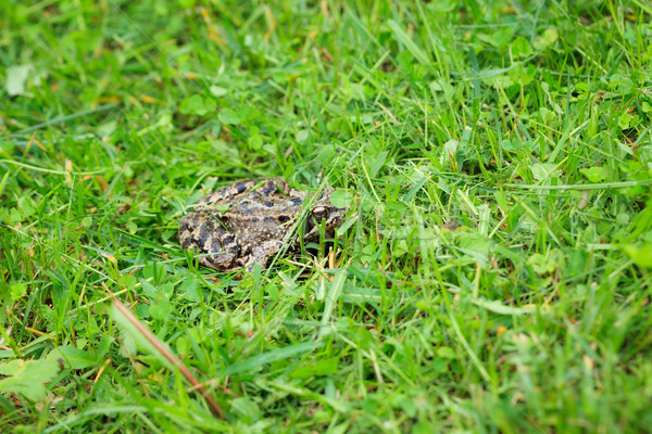 Frog on grass Stock photo © Juhku