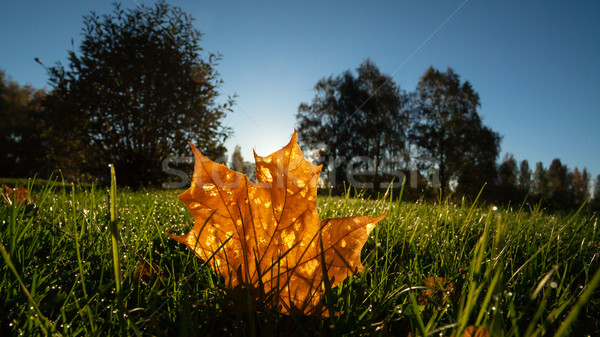 Stok fotoğraf: Akçaağaç · yaprağı · çim · gündoğumu · ışık · sabah · gün · batımı