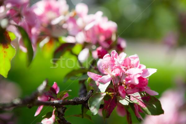 Gyönyörű almafa virágok tavasz fény háttér Stock fotó © Juhku