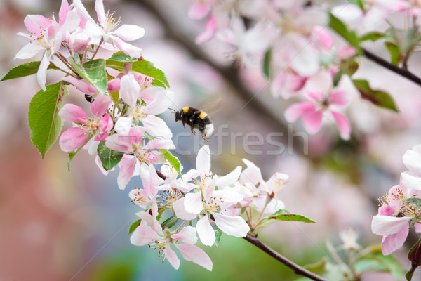 Bumblebee on apple tree flower Stock photo © Juhku