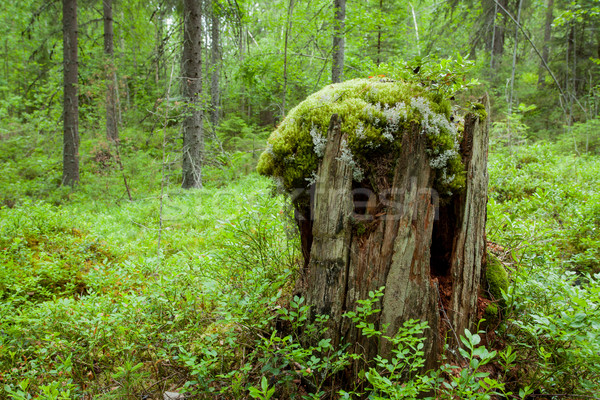 old tree stump Stock photo © Juhku