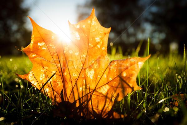 Stok fotoğraf: Akçaağaç · yaprağı · çim · gündoğumu · ışık · sabah · ağaç