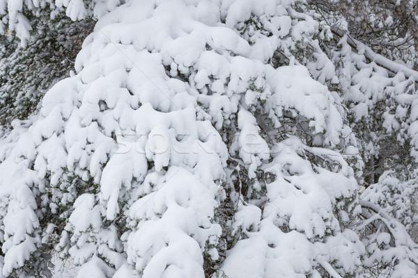 Nieve cubierto pino forestales invierno Foto stock © Juhku