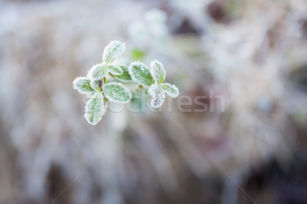 Frosty lingonberry twigs Stock photo © Juhku