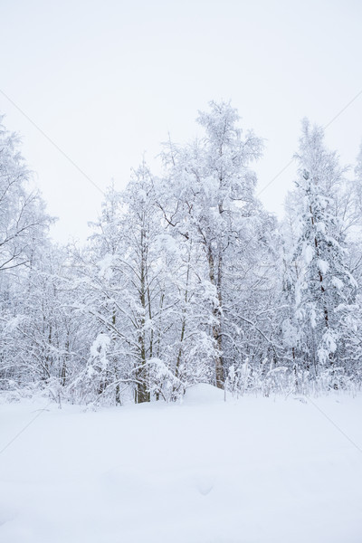 Forest trees covered in snow Stock photo © Juhku