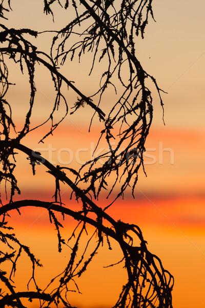 Pôr do sol céu árvore silhueta belo sol Foto stock © Juhku