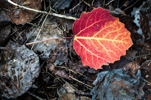 Vivid red leaf on ground autumn Stock photo © Juhku