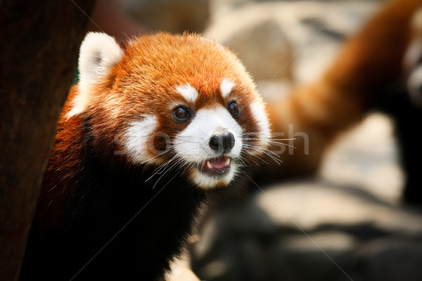 Stock photo: Cute red panda