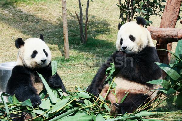 два еды бамбук гигант лист листьев Сток-фото © Juhku