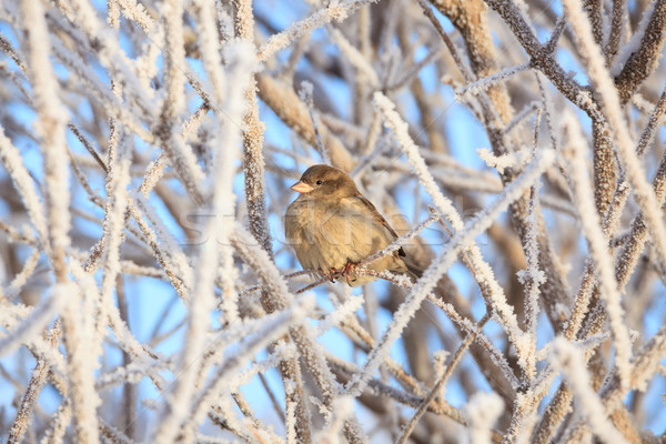 Sparrow sitting in frost bush Stock photo © Juhku
