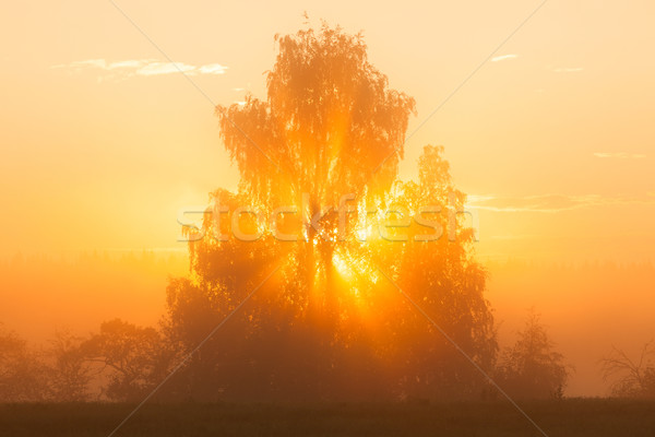 Sunbeams through tree in morning fog Stock photo © Juhku