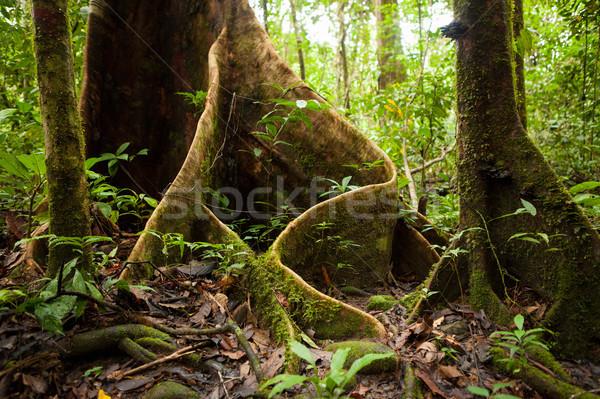 Albero radici foresta pluviale borneo Malaysia legno Foto d'archivio © Juhku
