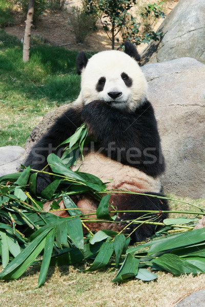 Panda eten bamboe reus bladeren beer Stockfoto © Juhku