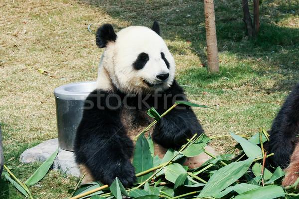 パンダ 食べ 竹 巨人 ツリー 葉 ストックフォト © Juhku
