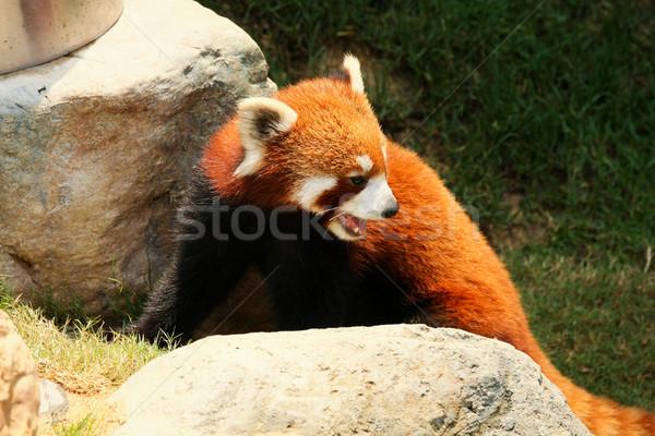 Red panda walking  Stock photo © Juhku