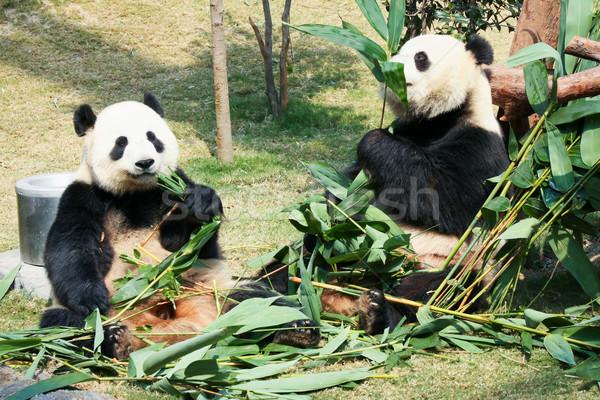 Kettő eszik bambusz óriás család levelek Stock fotó © Juhku