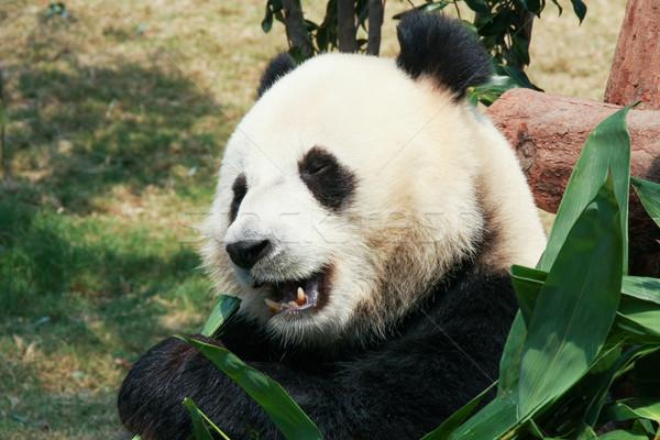 Panda eszik bambusz óriás természet levelek Stock fotó © Juhku