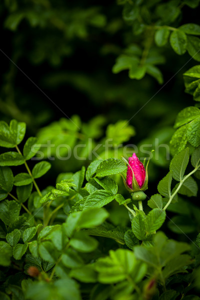 Vibrant rose bud in rose bush Stock photo © Juhku