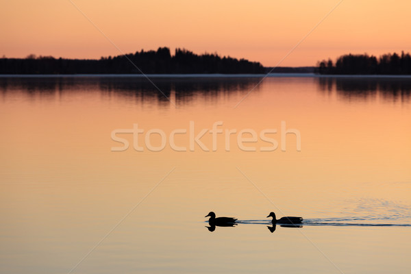Ducks swimming in lake at sunset time Stock photo © Juhku