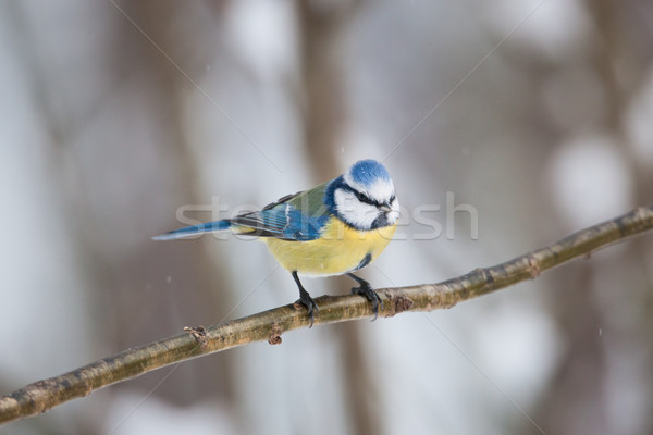 Blue tit sitting on small branch Stock photo © Juhku