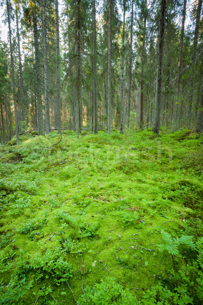 Lush forest floor in finland Stock photo © Juhku