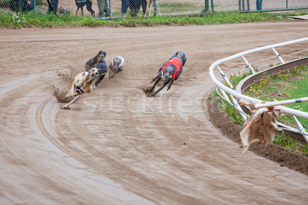 Galgo cães corrida areia seguir esportes Foto stock © Juhku