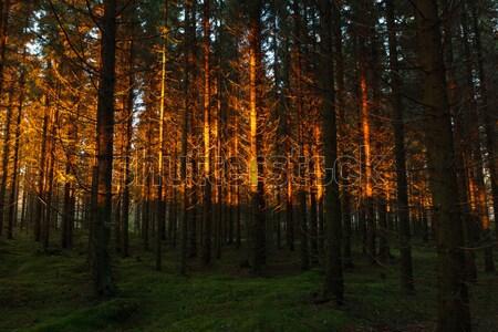Fichte Wald Sonnenuntergang Licht Landschaft golden Stock foto © Juhku