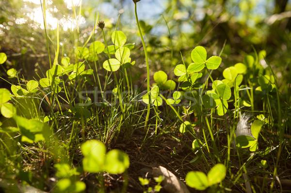 Creciente naturaleza iluminado primavera hierba campo Foto stock © Juhku