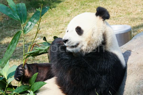 Panda comer bambú gigante hojas retrato Foto stock © Juhku