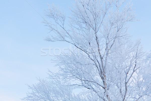 Dondurulmuş ağaç huş ağacı orman kar Stok fotoğraf © Juhku
