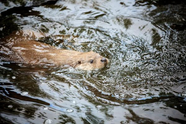 Kunduz yüzme su hayvan gölet yansıma Stok fotoğraf © Juhku