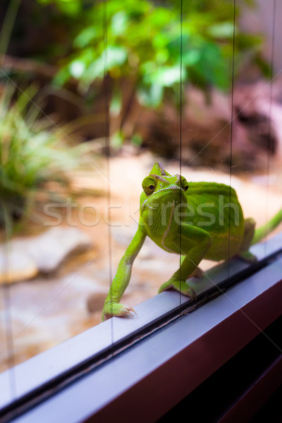 Chameleon in glass terrarium Stock photo © Juhku