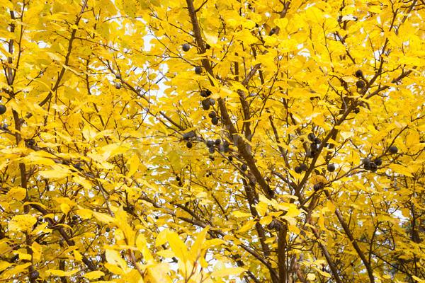 Albero autunno foglia giardino impianto Foto d'archivio © Juhku