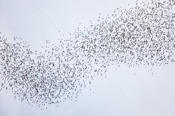 Bats flying in gunung mulu national park Stock photo © Juhku