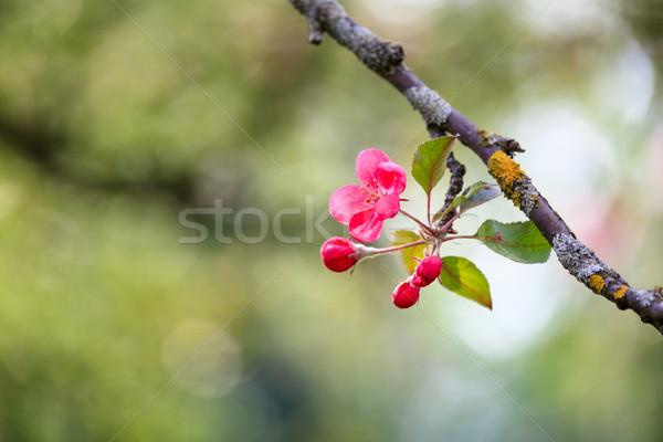 Güzel elma ağacı çiçekler bahar ağaç ışık Stok fotoğraf © Juhku
