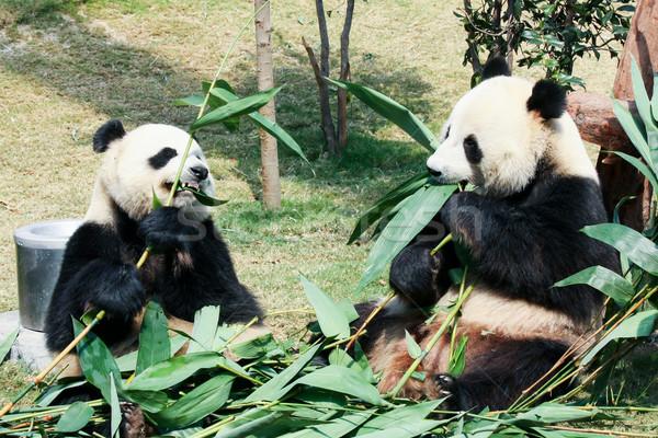 Stock photo: Two pandas eating bamboo