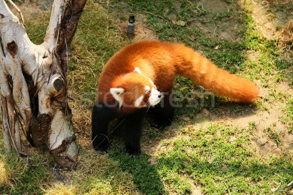Red panda walking  Stock photo © Juhku