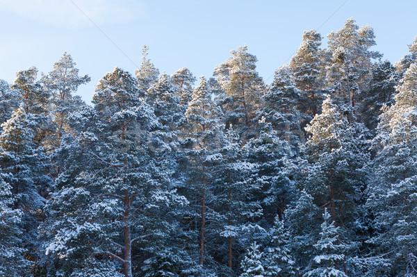 Hó fedett tél erdő kék ég természet Stock fotó © Juhku