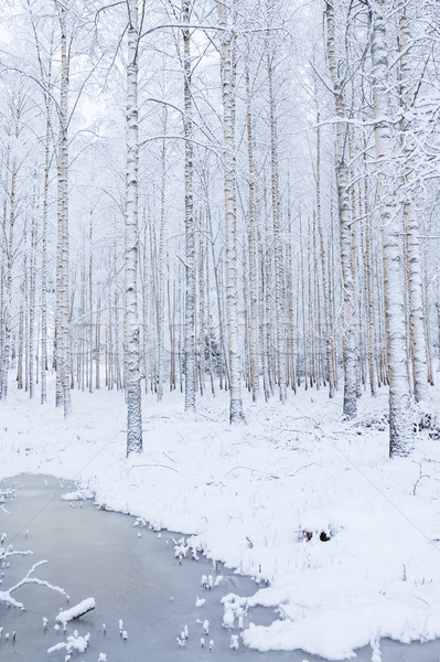 Stok fotoğraf: Huş · ağacı · ahşap · orman · kapalı · kar · kış