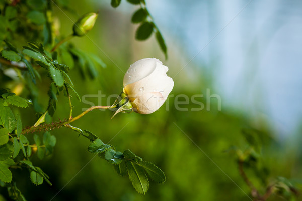 Vibrant rose bud in natural bush Stock photo © Juhku