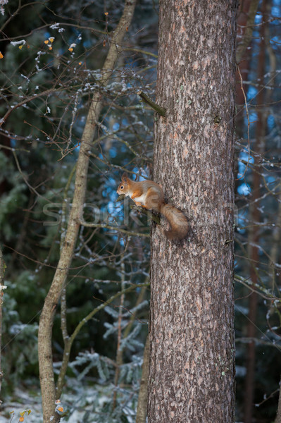 Stock photo: Squirrel on tree branch cone in mouth