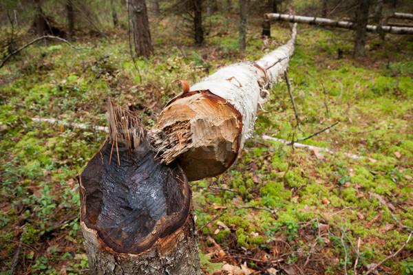 Fallen tree cut by beaver Stock photo © Juhku