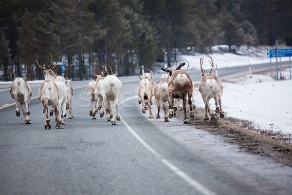 Reindeer flock in the way at road Stock photo © Juhku